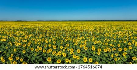 Large sunflower field nature scene. Yellow sunflowers. Sunflower field landscape. Sunflower field against blue sky #1764516674