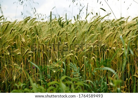 Close-up picture of Beautiful barley field. Countryside village rural natural landscape at sunny weather in spring summer. Green grass and blue sky with clouds. Nature protection concept. Agriculture.