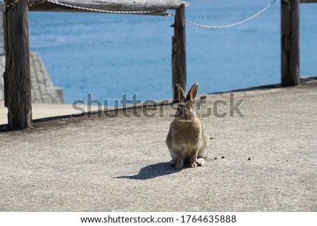 Rabbits in Okunoshima island in Japan photo took in Mar 2018.