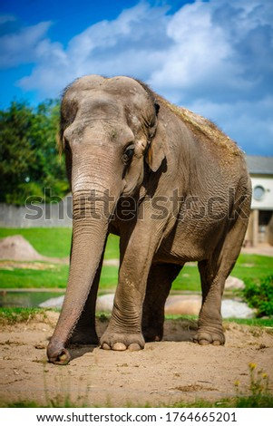 Elephant shows his snout and trumpets
