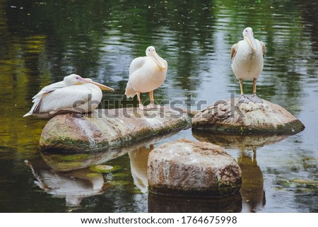 Great white pelicans sit on a stone near the water. Funny birds #1764675998