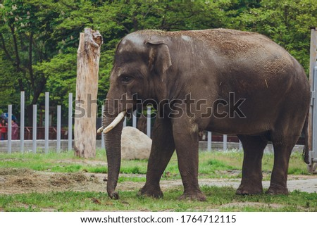 Photo of an elephant. Elephant shows his snout and trumpets.