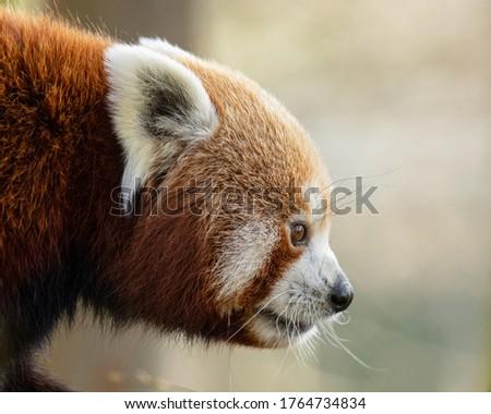 Red Panda (Ailurus fulgens) head shot against light background