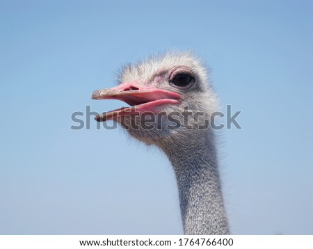 Ostrich bird head neck, eye closeup isolated on blue sky. Ostrich head portrait with open beak. Big large bird - ostrich on african fowl farm. Bird funny cute face looking. Poultry head, plumage macro #1764766400