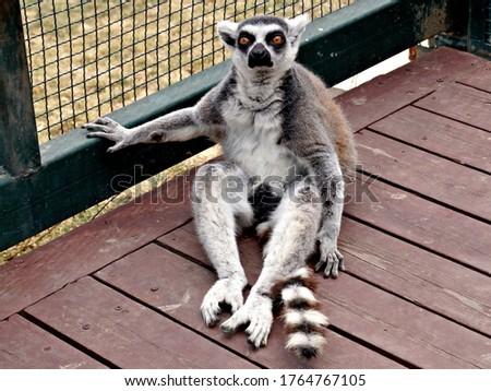 Ring tail Lemur (lemur catta) sitting in zoo cage. Madagascar lemur animal looking. Portrait of lemur katta long tail sitting in wooden cage from wild nature. Cute leemur of lemuriformes - zoology