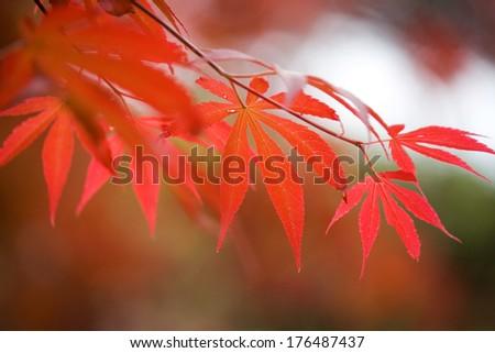 Red Leaf #176487437