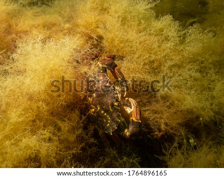 A crab pictured in a shore dive at On, Limhamn, Malmo. Scuba diving in Oresund, the water between Sweden and Denmark. High-quality photo