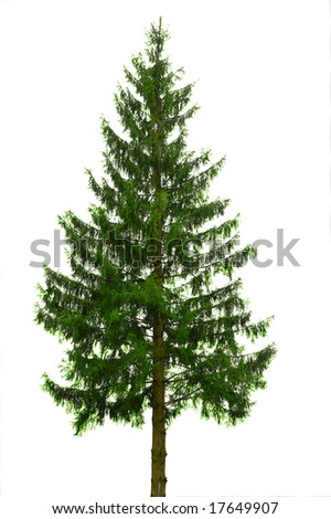 single tree  fir isolated on white #17649907