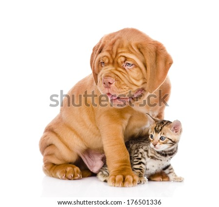 Bordeaux puppy dog and bengal kitten together. isolated on white background #176501336