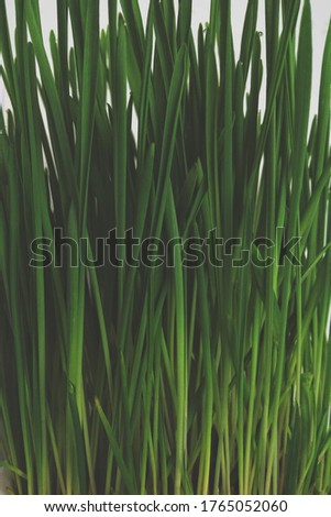 Close up of beautiful growing grass in the forest. Kale color of the picture. Natural floral dark background. Pet grass.