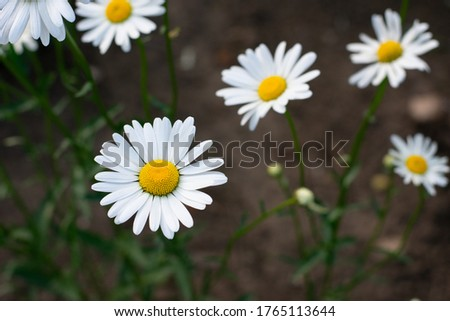 Garden daisies, Leucanthemum vulgare, on a natural background. Flowering of daisies. Oxeye daisy, Daisies, Dox-eye, Common daisy, Dog daisy, Moon daisy. Gardening concept.  #1765113644