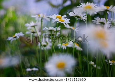 Garden daisies, Leucanthemum vulgare, on a natural background. Flowering of daisies. Oxeye daisy, Daisies, Dox-eye, Common daisy, Dog daisy, Moon daisy. Gardening concept.  #1765113650