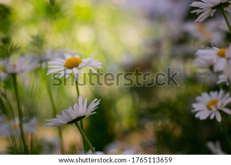 Garden daisies, Leucanthemum vulgare, on a natural background. Flowering of daisies. Oxeye daisy, Daisies, Dox-eye, Common daisy, Dog daisy, Moon daisy. Gardening concept.  #1765113659