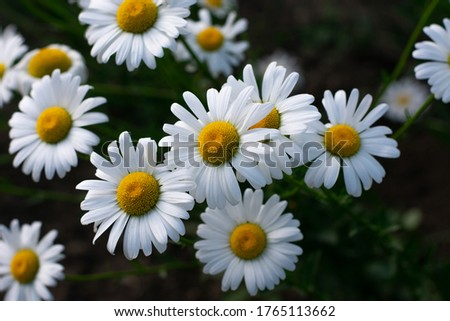 Garden daisies, Leucanthemum vulgare, on a natural background. Flowering of daisies. Oxeye daisy, Daisies, Dox-eye, Common daisy, Dog daisy, Moon daisy. Gardening concept.  #1765113662