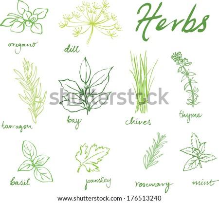 Assorted fresh herbs vector  #176513240