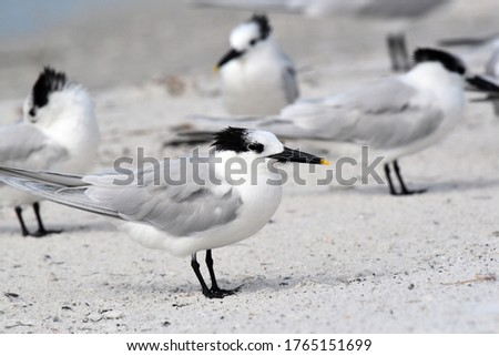 Fort de Soto, Florida, USA - February 5, 2018 Sandwich Tern (Thalasseus sandvicensis) in nonbreeding plumage