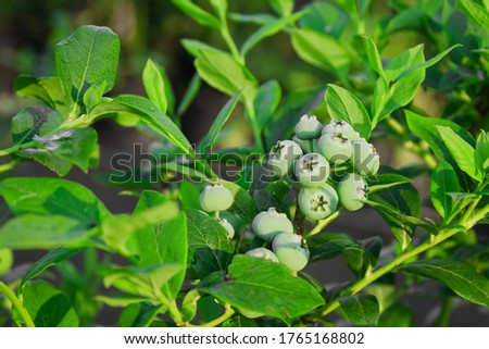 Growing unripe green blueberry on a branch with green leaves. Close up. Growing berries . Concept of farming, rural lifestyle and agriculture. Healthy natural Eco food. Vitamins.  #1765168802