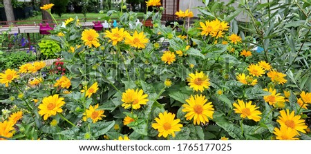 Large-size pictures of Jerusalem artichoke (Helianthus tuberosus) growing in a city and blooming in a summer season
