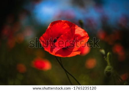 Poppy flower. Artistic picture of wild red poppy flower.