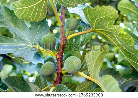 Green unripe figs hang on a branch. Fruits of a fig. Unripe figs between green fig leaves. #1765235900