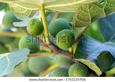Green unripe figs hang on a branch. Fruits of a fig. Unripe figs between green fig leaves. #1765235906
