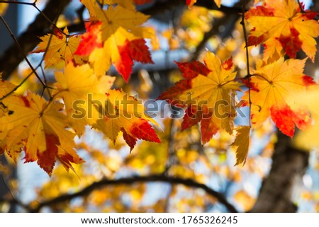 Colored maple leaves in autumn