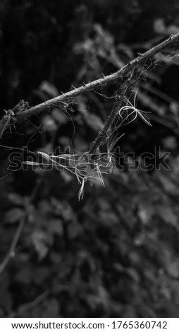 Black and white picture of delicate dandelion seeds trapped in spider web. Natural background.