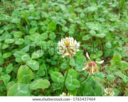 Trifolium repens, thewhite clover (also known asDutch clover,Ladino clover, orLadino). Floral desktop background.Trifolium stoloniferum, therunning buffalo clover #1765437464