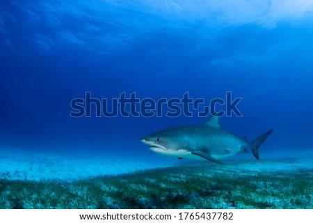 Tiger Shark Roaming the Seabed. Tiger Beach, Bahamas