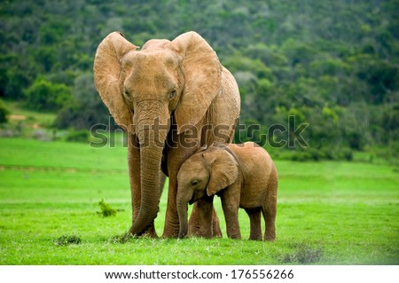 A young elephant right next to an adult one. Royalty-Free Stock Photo #176556266