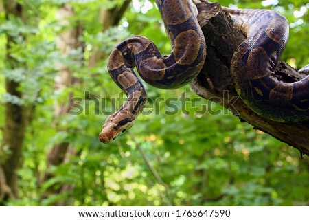 The boa constrictor (Boa constrictor), also called the red-tailed or the common boa on a branch in the middle of the forest. A large snake on a branch in the green of a bright forest. #1765647590