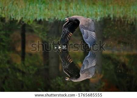 Eagle in flight above the dark lake. White-tailed Eagle, Haliaeetus albicilla, flying above the water, bird of prey with forest in background, animal in the nature habitat, wildlife, Norway. Royalty-Free Stock Photo #1765685555