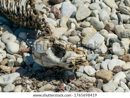 picture with fragments of a dead seal skeleton on a background of pebbles, Baltic Sea coast, Estonia