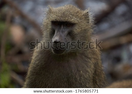 Olive baboon baby Papio anubis Anubis baboon Cercopithecidae Old world monkey