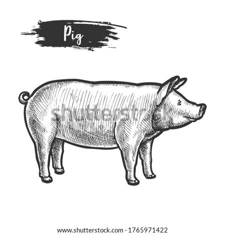 Vintage sketch of pig or pork animal. Hand drawn piggy or piglet sketching. Farm hog or swine mammal, rural livestock or ranch piggie, engraved sow. Animal for agriculture meat or wurst. Husbandry