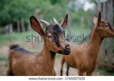 Focused picture of a beatiful goat in a village.