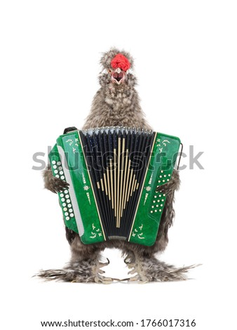 rooster sings and plays the harmonica. Isolated on a white background.