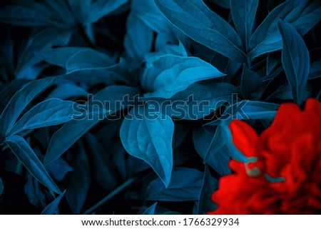 red flowers blossom on blue leaf, nature background, flowers shape, toned process. leaves texture background, blue tone. Red flower