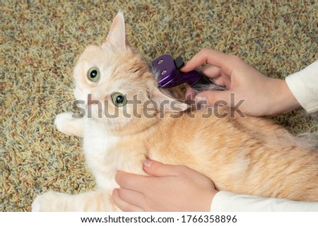 Furminator combing a cute creamy British cat. Pet care, grooming concept
