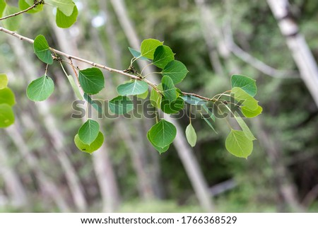 The green leaves of quaking aspen (Populus tremuloides) in the willow family (Salicaceae) Royalty-Free Stock Photo #1766368529