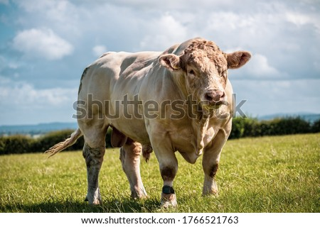 Really powerful Charolais bull - breed. Showing his muscles on sunny day on the field in UK. Royalty-Free Stock Photo #1766521763