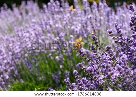 Painted lady butterfly on lavender flowers. Sunny spring background with flowers and insects. Orange butterfly on lilac flowers in soft focus. Macro photography of wildlife.