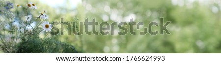 long panoramic photo of blooming meadow daisies, camellias in a green summer field, natural, environmental concept, background for the designer for postcards, wallpapers, blurred bokeh banner