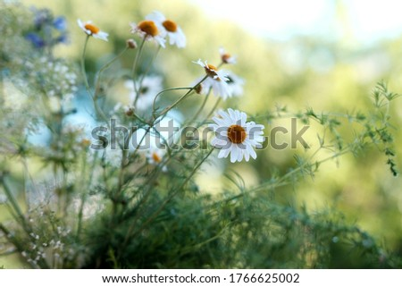 blooming meadow daisies, camellias in a green summer field, natural, environmental concept, background for the designer for postcards, wallpapers, blurred bokeh banner
