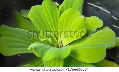 Floating plant in a pond. Close-UP. Aquatic plants . Duck weed,floating on water, small aquatic plants. Colourful water plants. Floating plants in a pond.  #1766660804