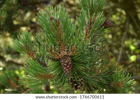 pine branch with cones, natural green background #1766700611