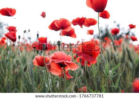 red poppies beautiful flowers poppy field