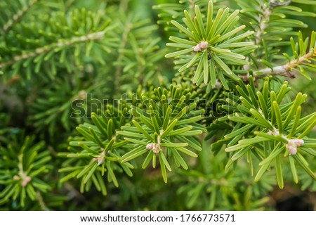 Korean fir , Abies koreana, branch close-up. Evergreen tree with soft needles. High quality photo Royalty-Free Stock Photo #1766773571