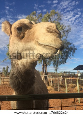 Picture of a camel in the outback in Australia
