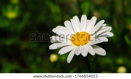Garden daisies (лат. Leucanthemum vulgare) on a natural background. Flowering of daisies. Oxeye daisy, Daisies, Dox-eye, Common daisy, Dog daisy, Moon daisy. Gardening concept #1766854013